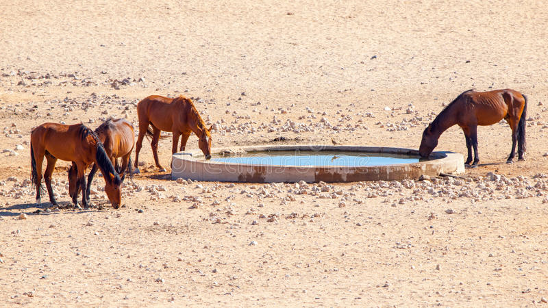 Les chevaux sauvages de désert de Namib vivent en troupe au point d'eau près d'Aus, Namibie, Afrique images libres de droits