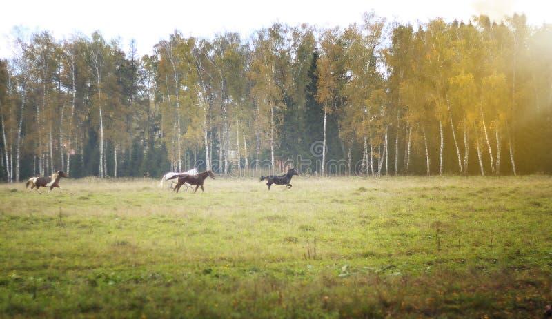 Les chevaux sauvages de troupeau galopent dans un domaine vert clair, dans la perspective des arbres des bouleaux photos libres de droits