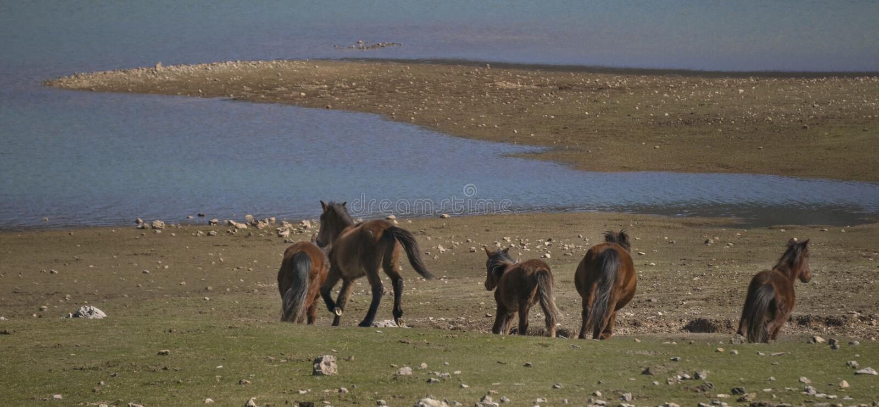 Les chevaux sauvages fonctionnent photo stock