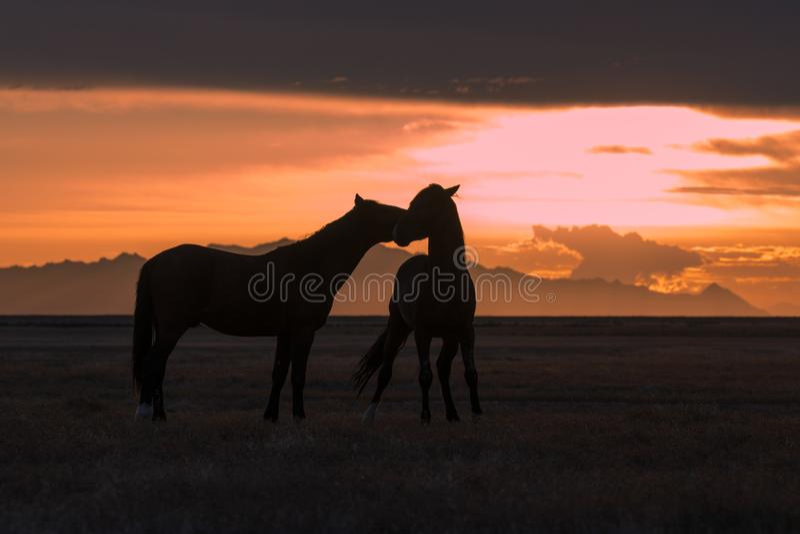Les chevaux sauvages ont silhouetté au coucher du soleil dans le désert images libres de droits