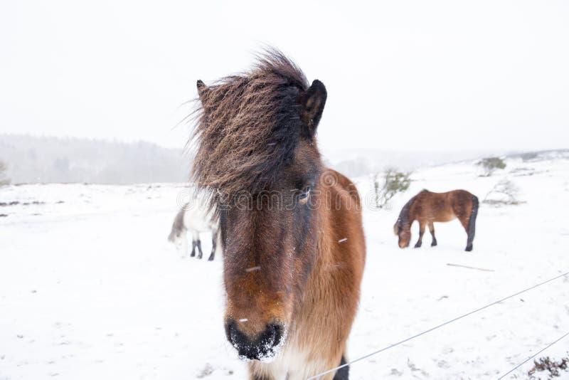 Les chevaux sauvages se tenant dans la neige ont couvert le paysage d'hiver images stock