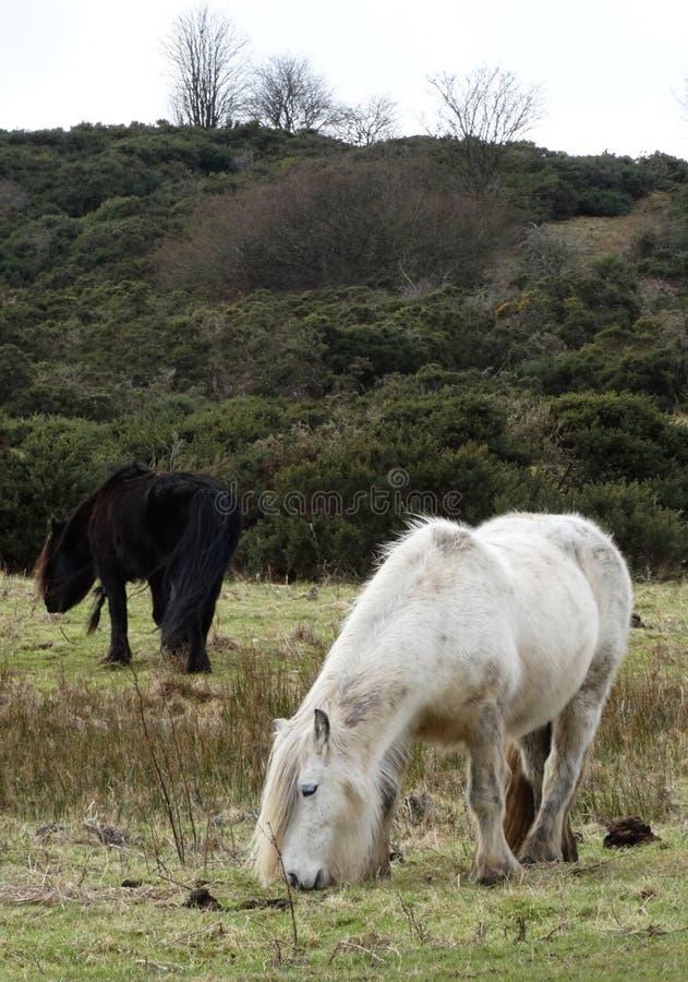 Les chevaux sauvages sur Askham sont tombés 2 photo stock
