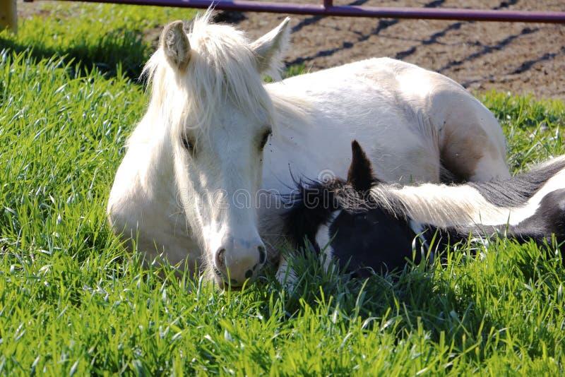 Les chevaux sont les oreillers confortables image libre de droits