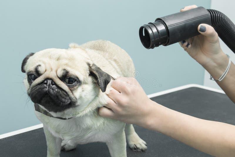 Les cheveux de séchage avec un dessiccateur électrique de la fourrure des balais multiplient le chien image libre de droits