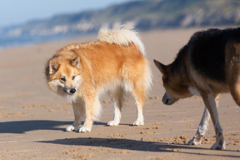 Les chiens avec docile et dominent des comportements photographie stock libre de droits