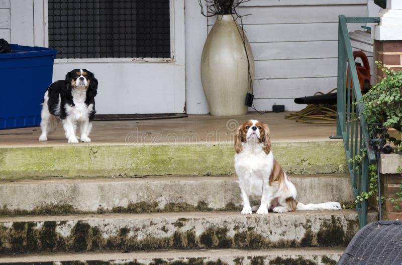 Les chiens cavaliers du Roi Charles Spaniel sur le perron se penchent, Watkinsville, la Géorgie, Etats-Unis image libre de droits