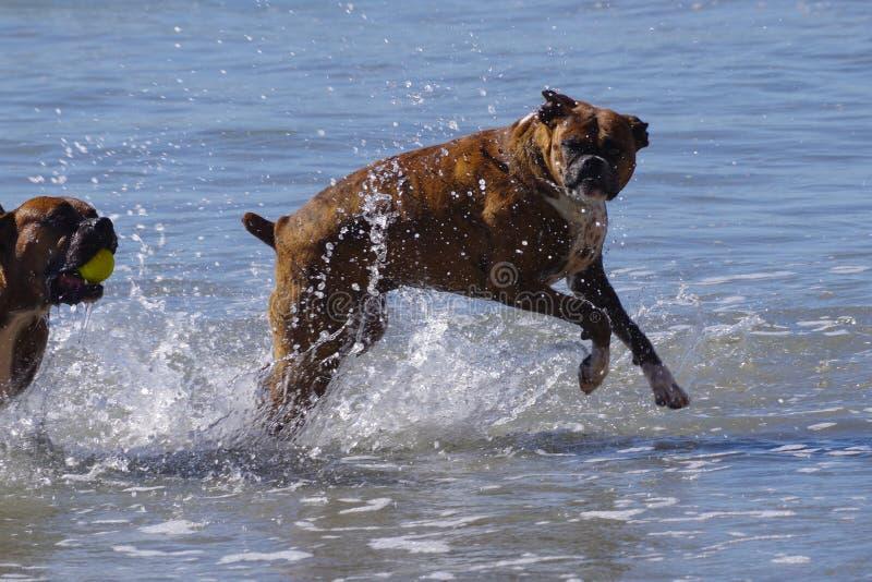 Les chiens de haute énergie jouent dans l'océan à la plage de chien photographie stock libre de droits