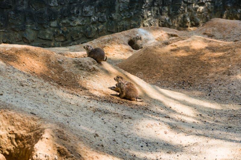 Les chiens de prairie sont de petits animaux qui vivent sous terre photos stock