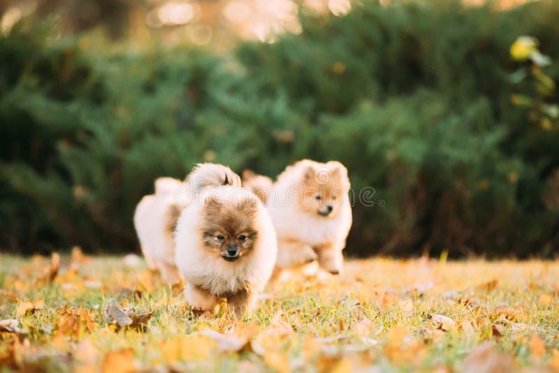 Les chiens de Spitz de Pomeranian de chiots jouent le jeu drôle courant ensemble O photos libres de droits