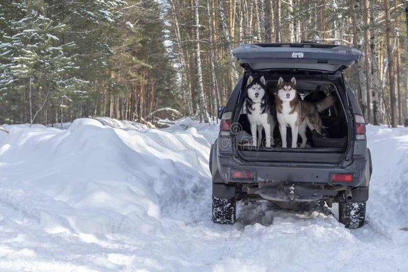 Les chiens enroués sibériens sautent du tronc de la voiture Animaux familiers dans la forêt d'hiver photos stock