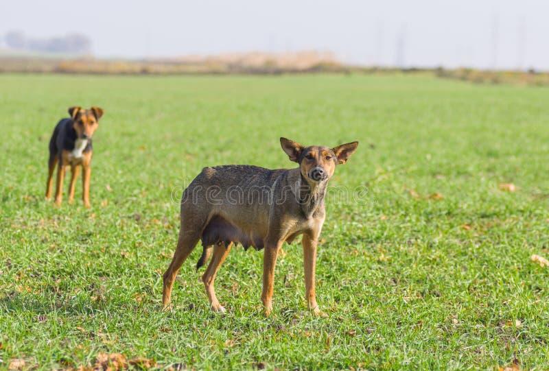 Les chiens femelles égarés attend l'alimentation par des volontaires photos libres de droits