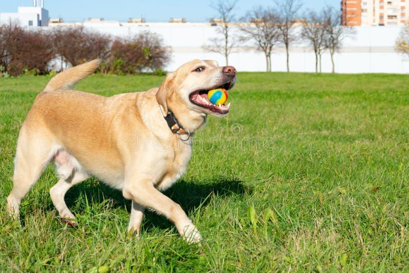 Les chiens jouent avec la boule et l'anneau Labrador photographie stock