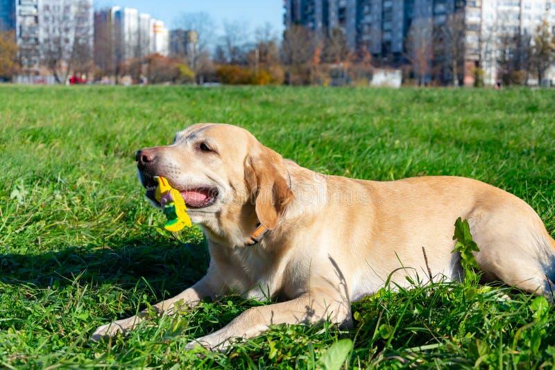 Les chiens jouent avec la boule et l'anneau Labrador images libres de droits