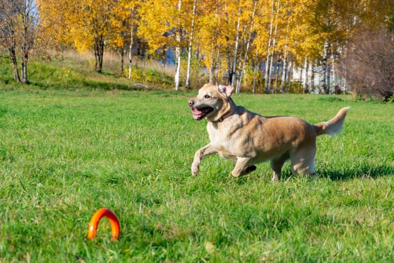 Les chiens jouent avec la boule et l'anneau Labrador image libre de droits