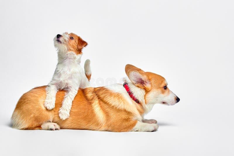 Les chiens jouent dans le studio sur un fond blanc regarde en haut du corgi de Jack Russell Terrier et de Gallois photo stock
