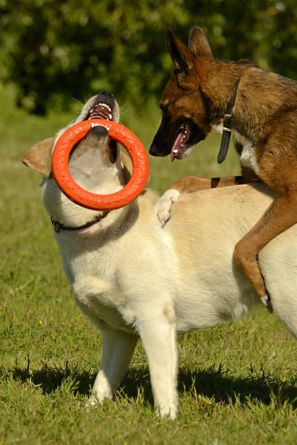 Les chiens jouent les uns avec les autres Labrador Joyeux chiots d'agitation Crabot agressif Formation des chiens Éducation de ch image libre de droits