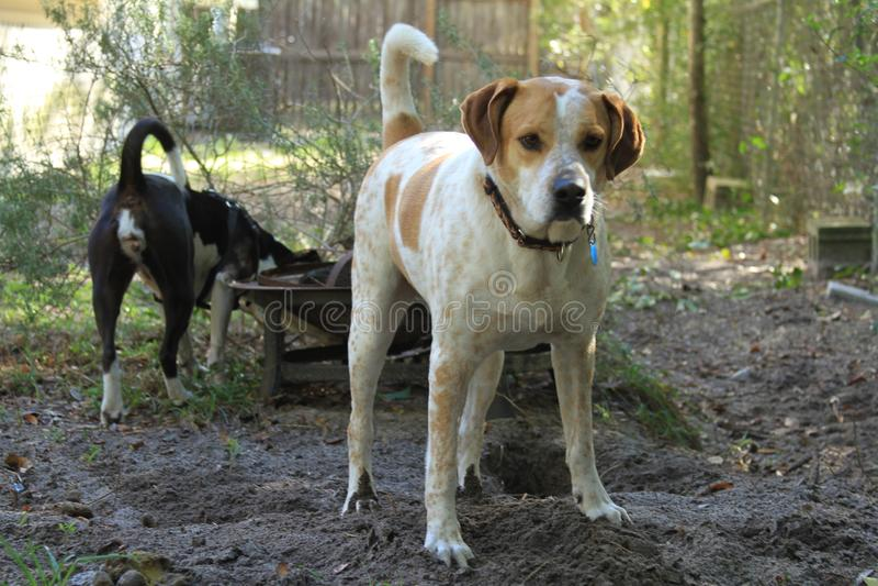 Les chiens mélangés de race sont le meilleur des meilleurs amis du ` s de l'homme images stock