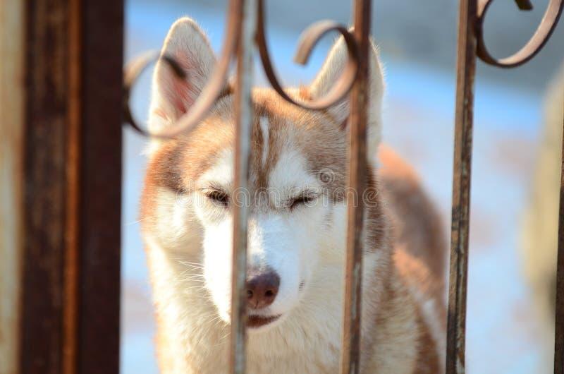 Les chiens mignons se situent dans le secteur de maison Verrouillé dans la maison derrière la barrière de fer photo stock