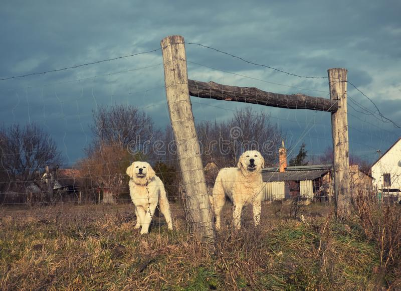 Les chiens sont derrière la barrière dans la maison images stock