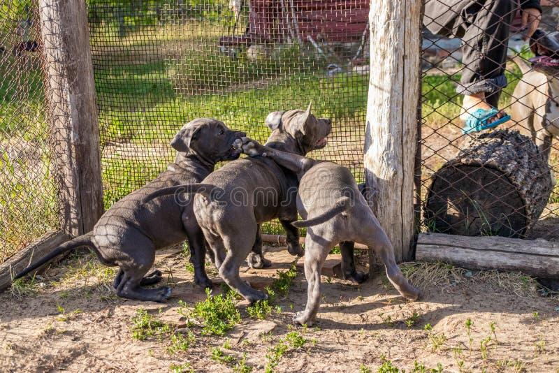 Les chiots du Staffordshire Terrier américain se reposant dans une volière veulent marcher dans le sauvage photo stock