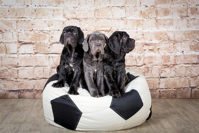 Les chiots gris, noirs et bruns multiplient Neapolitana Mastino Maitres-chien de chien formant des chiens depuis l'enfance images libres de droits