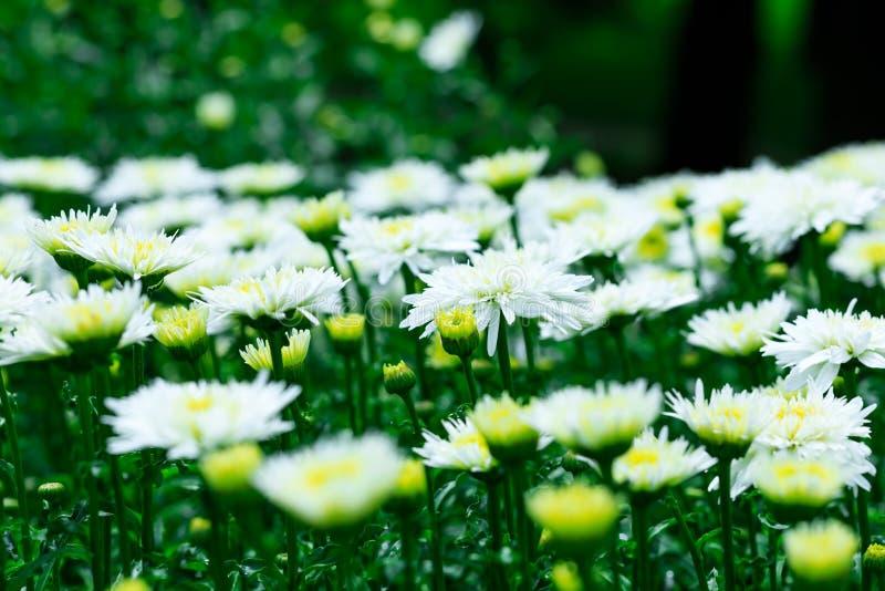 Les chrysanthèmes blancs fleurit sur le fond du LAN de jardin photos stock