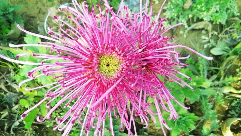 Les chrysanthèmes ou les ormums ou les chrysanths de mamans d'araignée, sont les usines fleurissantes du genre chrysanthème dans  photographie stock