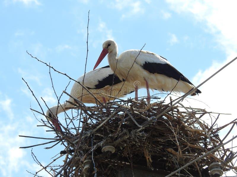 Les cigognes constituant le nid photo stock