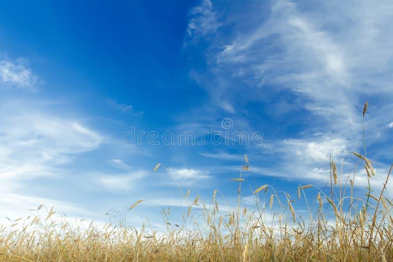 Les cirrus blancs et le ciel bleu au-dessus des oreilles de maturation de céréale de seigle mettent en place photographie stock libre de droits