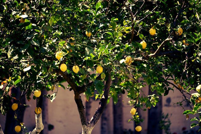 Les citrons jaunes mûrissent sur des arbres photographie stock libre de droits