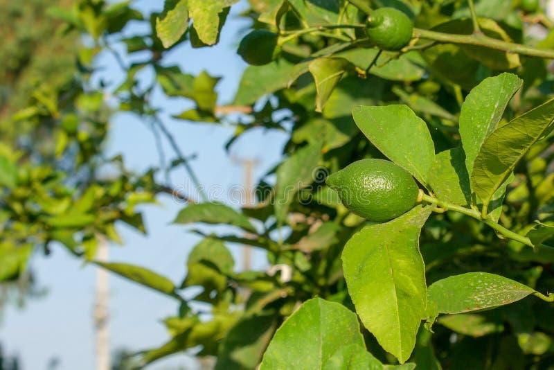 Les citrons verts accrochent sur une branche entourée par des feuilles Matin ensoleill? d'?t? photos stock