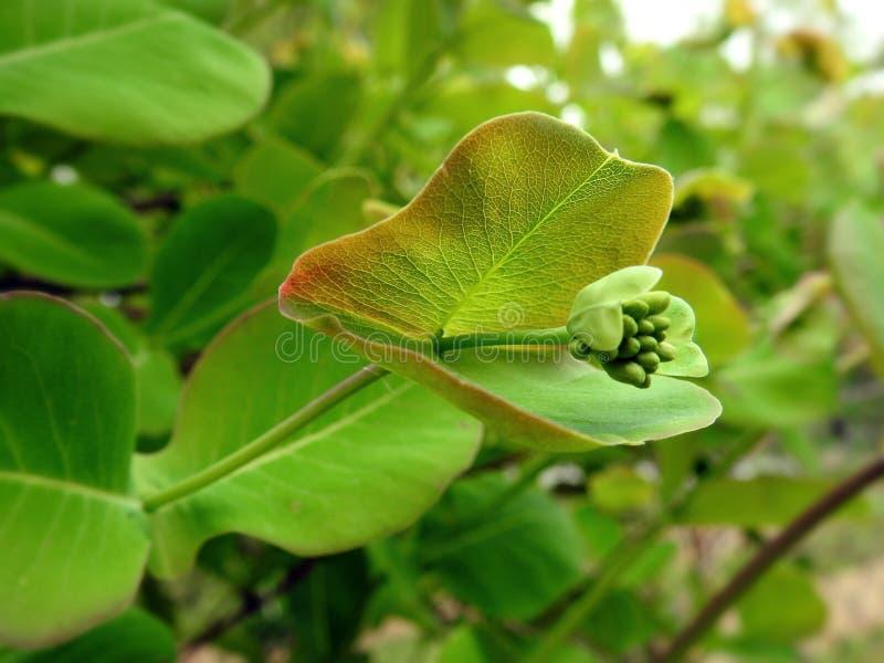 Les clématites plantent au printemps photographie stock libre de droits