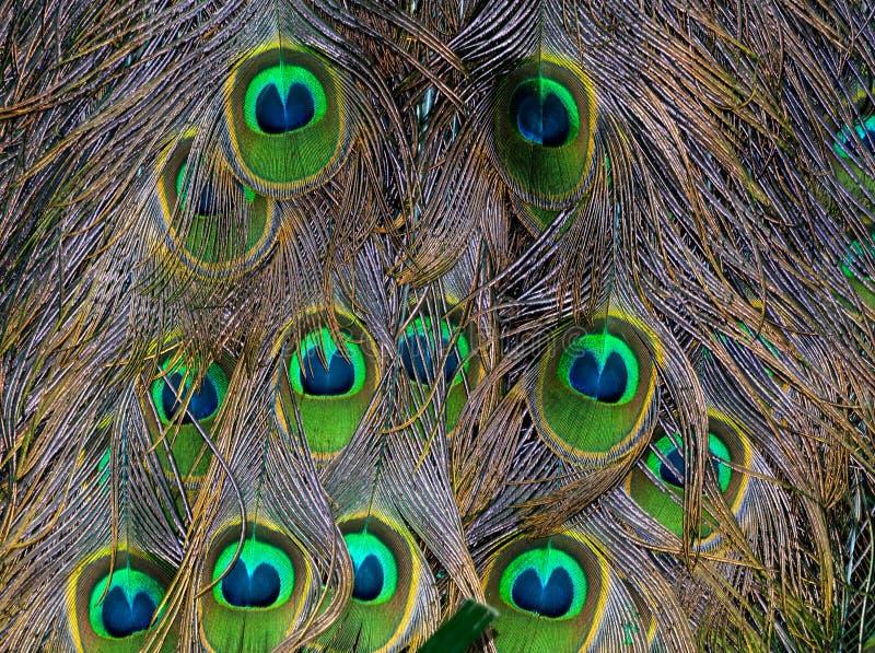Download Les clavettes de paon image stock. Image du paon, yeux - 45362775