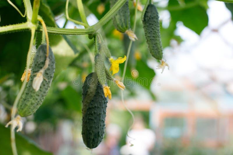 Les concombres se développent en serre chaude Tiges de concombre avec des fruits des divers niveaux de maturité, fleurs jaunes de image stock