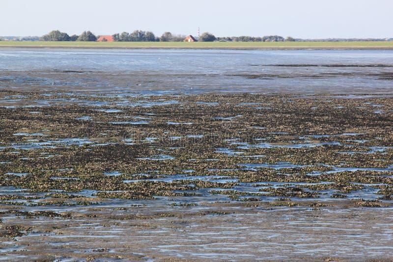 Les coquilles encaissent en l$mer des Wadden de Néerlandais près d'Ameland photographie stock libre de droits