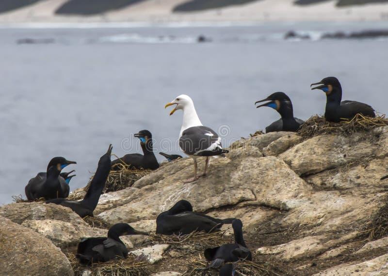 Les cormorans de Brandt sur des nids avec la mouette simple parmi eux images stock