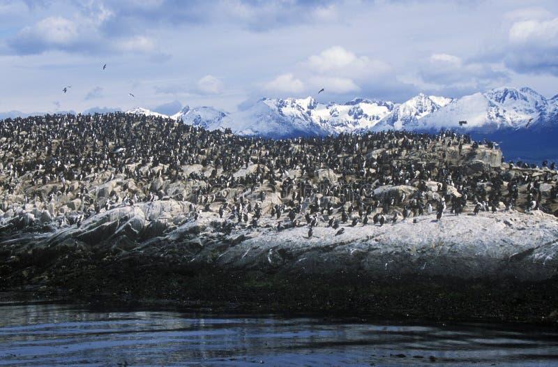 Les cormorans sur des roches s'approchent de la Manche de briquet et jettent un pont sur des îles, Ushuaia, Argentine du sud photographie stock