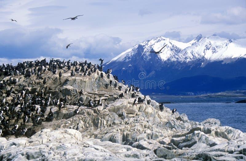 Les cormorans sur des roches s'approchent de la Manche de briquet et jettent un pont sur des îles, Ushuaia, Argentine du sud photographie stock libre de droits