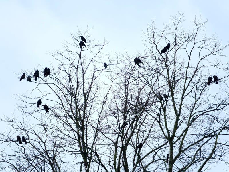 Les corneilles noires étaient perché dans les branches ou un arbre nu d'hiver photographie stock libre de droits