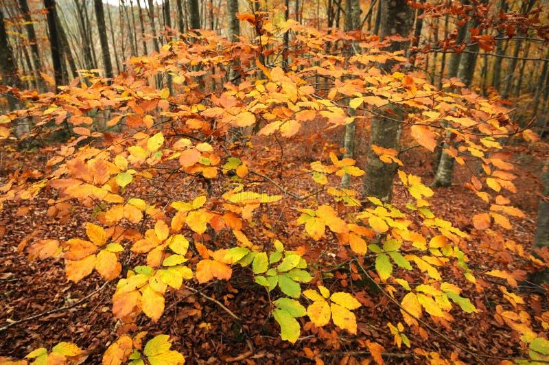 Les couleurs de l'automne Feuilles jaunes dans une forêt de hêtre sur les montagnes toscanes photo libre de droits