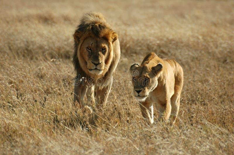 Les couples de lion images libres de droits