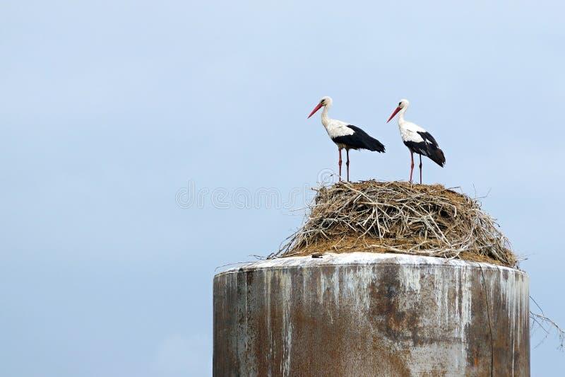 Les couples des cigognes se tiennent ensemble dans un nid image libre de droits