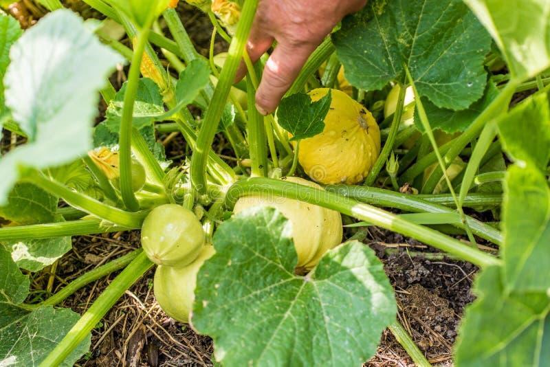 Les courges ornementales se développent dans leur propre jardin image libre de droits
