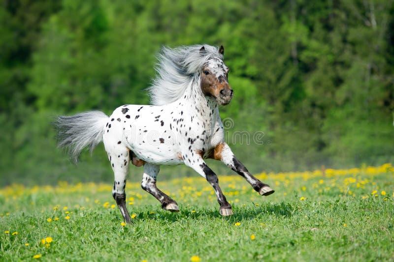 Les courses de cheval d'Appaloosa galopent sur le pré dans l'heure d'été photo libre de droits