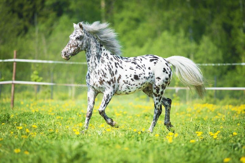 Les courses de cheval d'Appaloosa trottent sur le pré dans l'heure d'été photos libres de droits