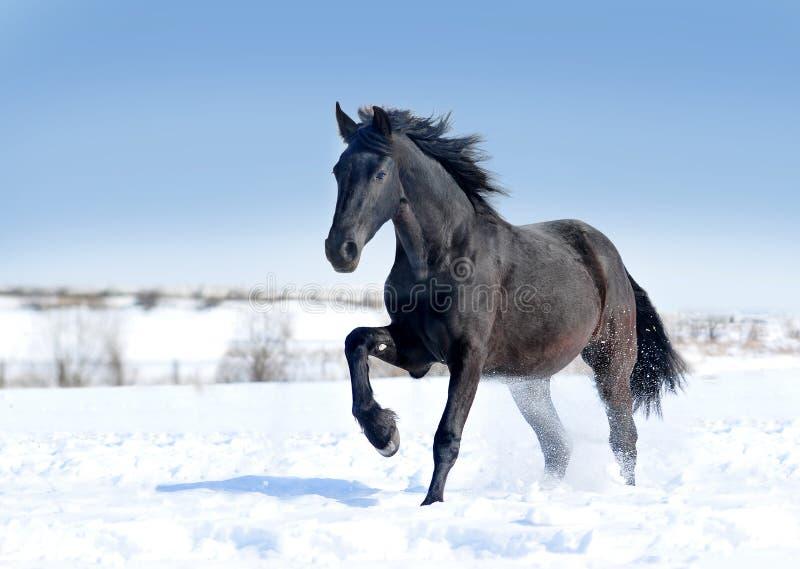 Les courses frisonnes noires de cheval galopent sur la neige images libres de droits