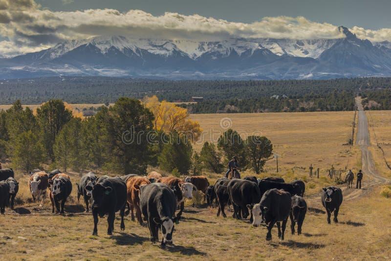 Les cowboys sur des bétail conduisent les vaches croisées à rassemblement Angus/Hereford et la calorie images libres de droits