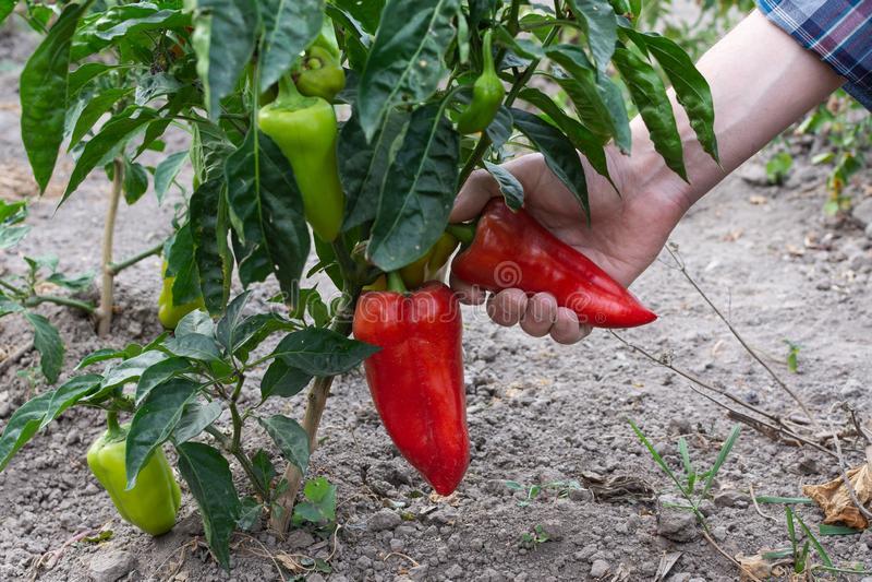 Les cuillères de jardinier cueillent du poivre rouge mûri photos stock