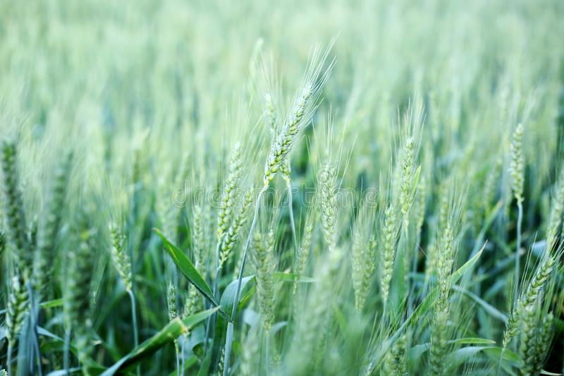 Les cultures de blé chronomètrent pour couper dans le mois du Pendjab avril pour célèbrent le baisakhi photos libres de droits