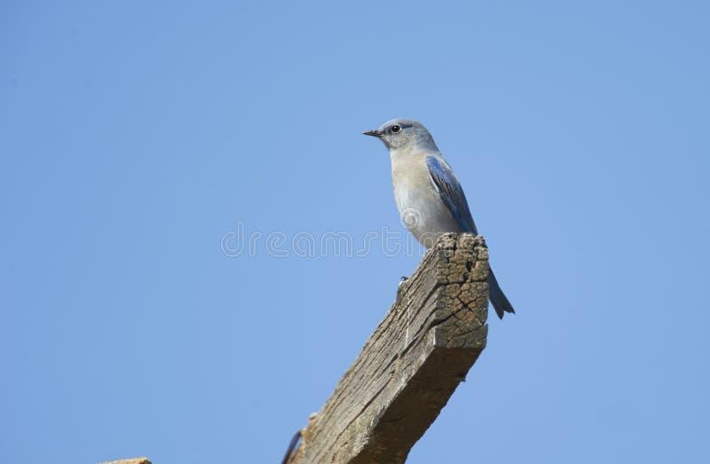 Les currucoides de Sialia d'oiseau bleu de montagne étaient perché sur un vieux faisceau image libre de droits